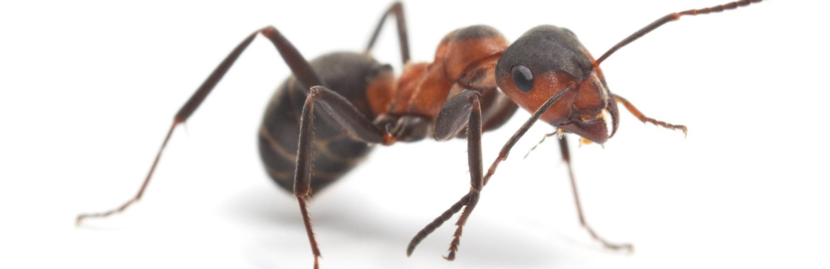 diatomaceous earth ant