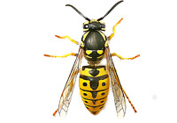 Wasps, Bees & Hornets